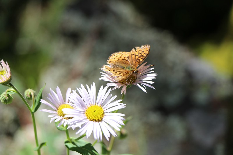 Butterfly on an Aster Flower