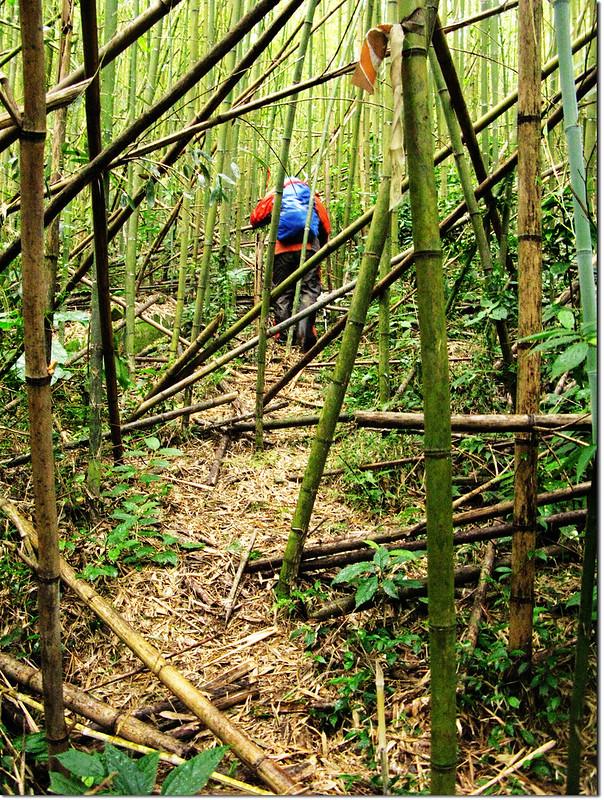 倒竹橫陳的拉號山登山步道 1