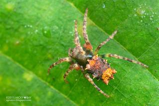 Orb weaver spider (Wagneriana sp.) - DSC_2409