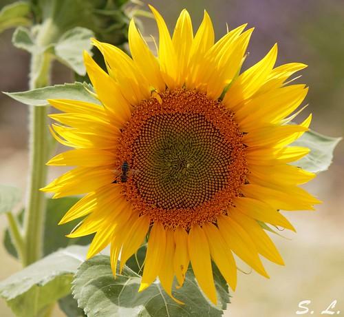 """""""Un ami est à-la-fois le soleil et le tournesol, il attire et il suit."""""""