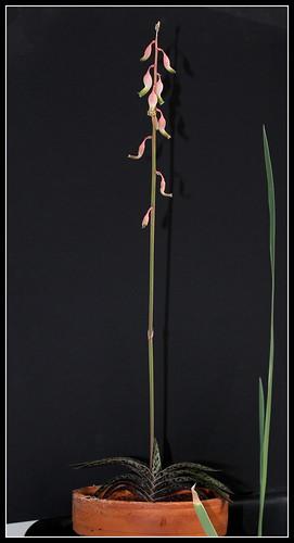 Gasteria bicolor v. liliputana 31709254421_eb10143e5a