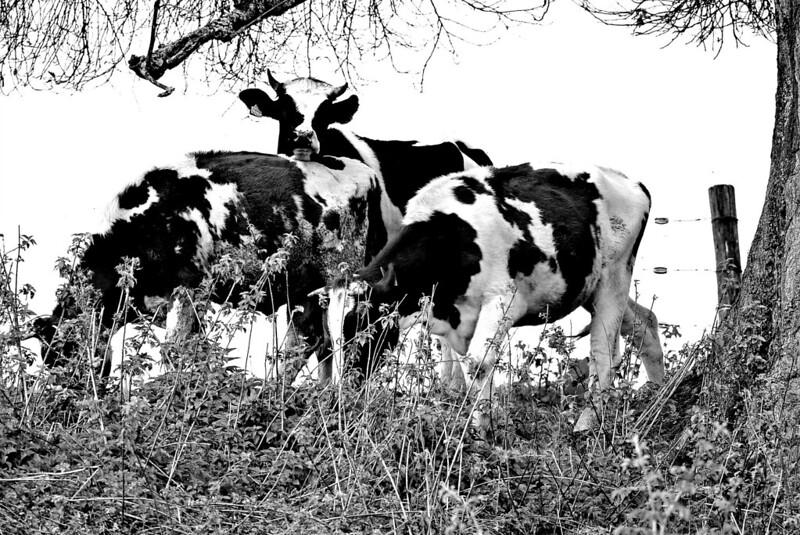 Cows 26.09 (7)