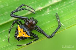 Orb weaver spider (Verrucosa cf. arenata) - ESC_0015