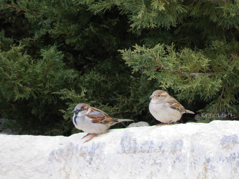 IMG_3595HouseSparrows