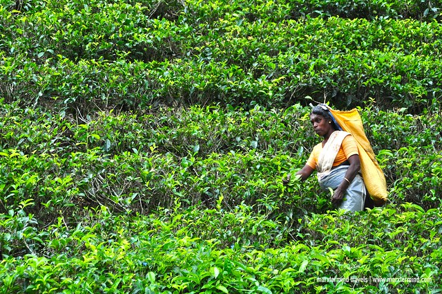 Tea Picker at Bluefield Tea Gardens