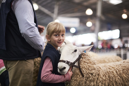 2016 Royal Melbourne Show Sheep Competition