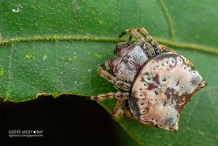 Crab orb weaver (Aspidolasius branick) - DSC_4325