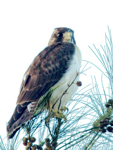 Short-tailed Hawk CROP 01-20161220_1