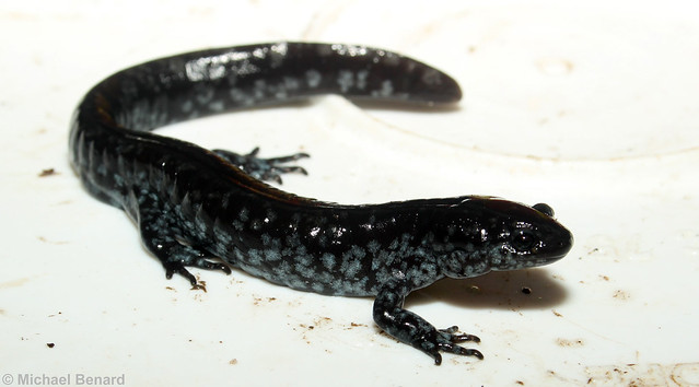 Male hybrid Ambystoma