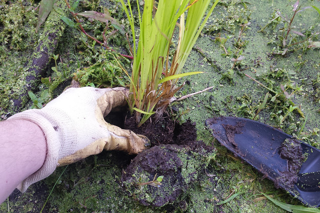 closeup of a hand planting a seedling into the algae-covered ground