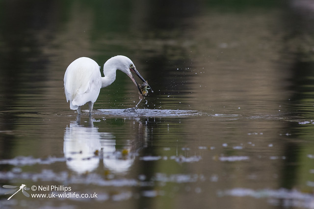 47 little egret with sea scorpion