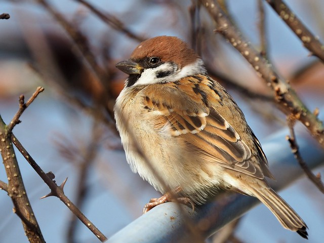 Eurasian tree sparrow (スズメ)