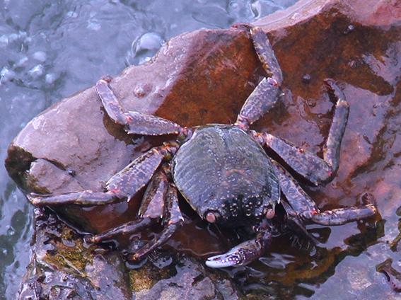 Rock crab?