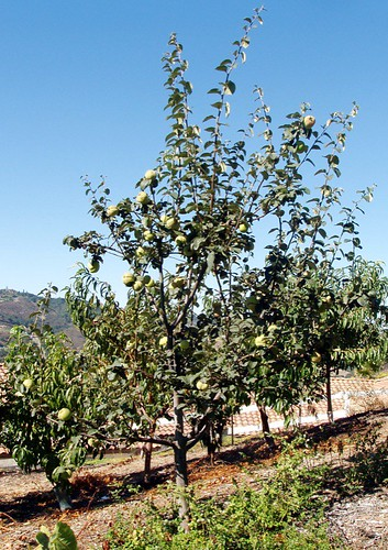 Quince_27Aug06.JPG | by laderafrutal