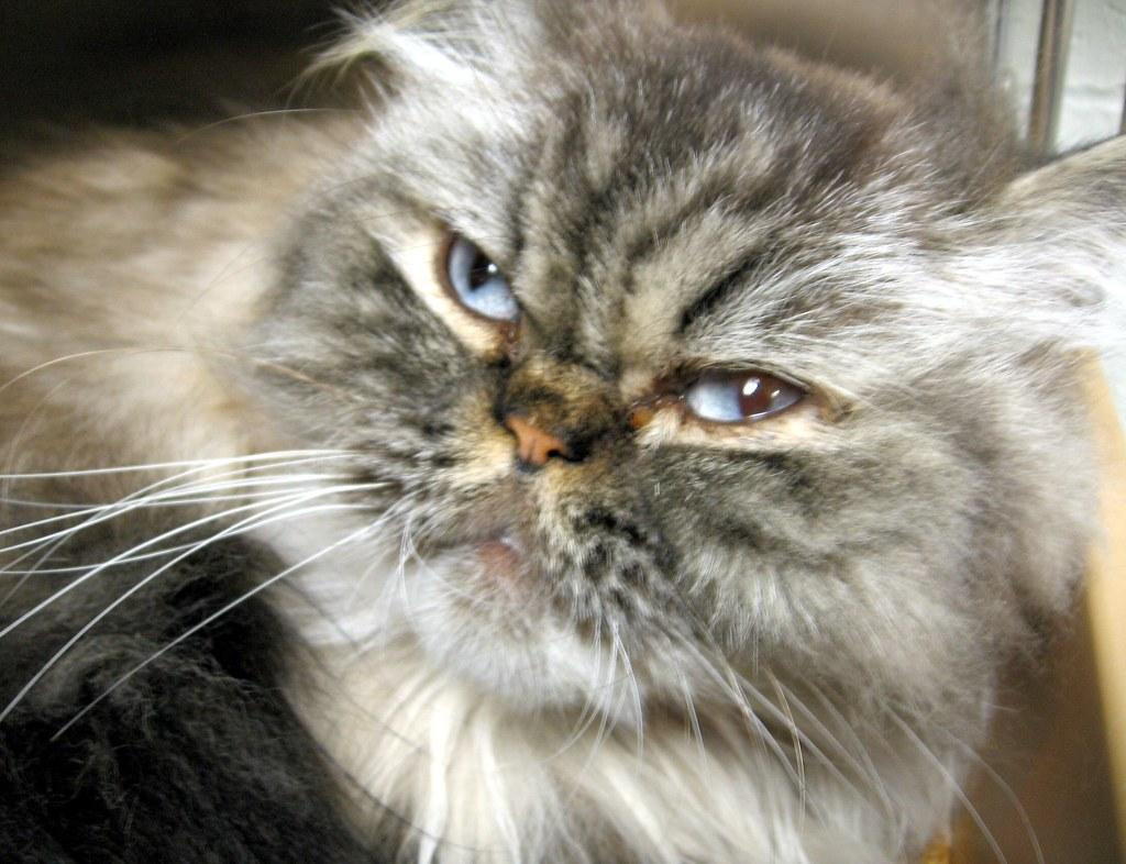 Free Photos Of Persian Cats