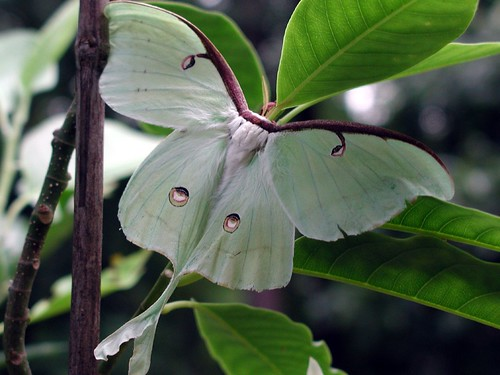 Luna Moth | by Paphio