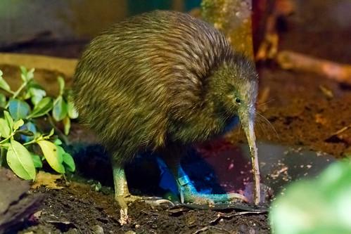 Elusive Kiwi