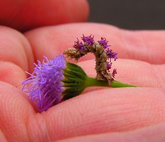 purple inchworm on my palm | by Hopefoote, Ambassador of the Wow