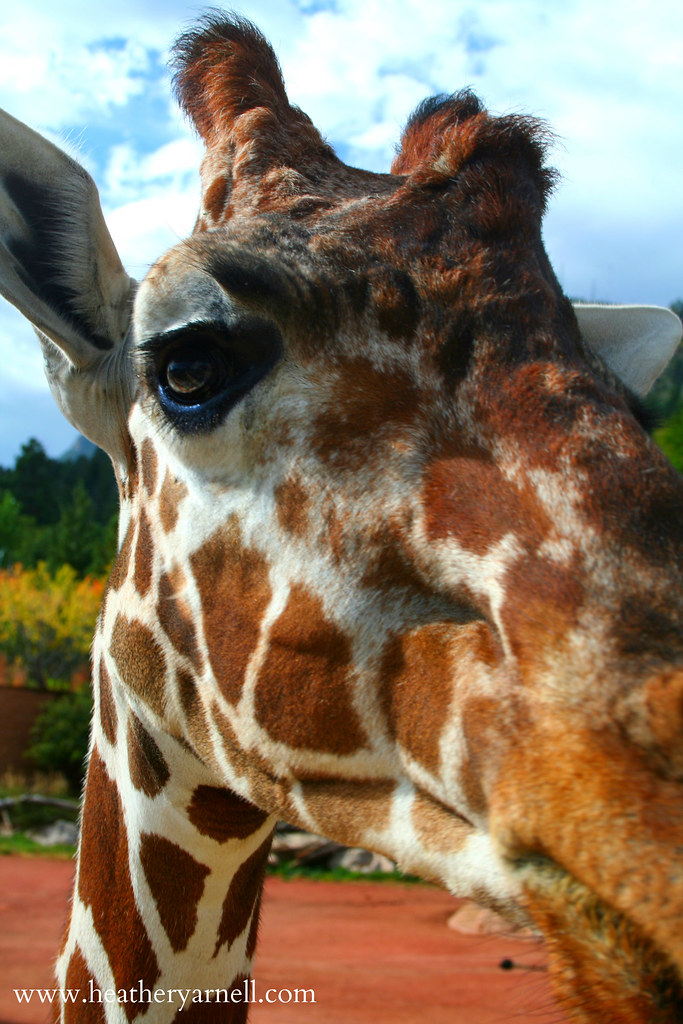 Giraffe Close-Up