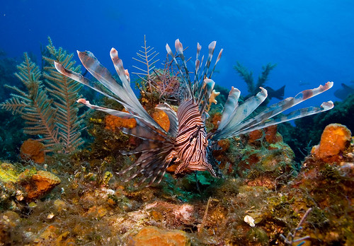 Lionfish | by WIlly Volk