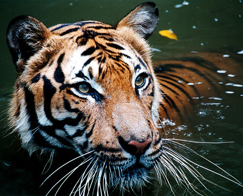 Tiger in the water | by B_cool