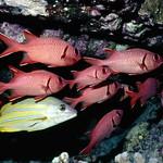 Bigscale Soldierfish/U'U/Myripristis berndti (w/Bluestripe Snapper-lutjanus kasmira)