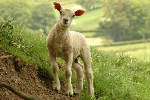 Lamb - 7 | by A Roger Davies