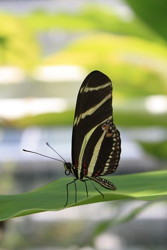 Papillon jardin botanique amsterdam masauve flickr for Papillon jardin botanique 2015