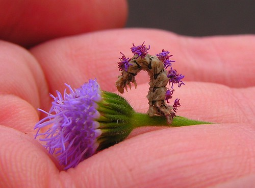 purple inchworm standing up | by Hopefoote, Ambassador of the Wow