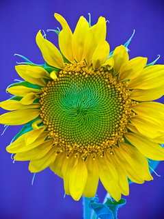 Sunflower, Day 3 | by Andy Ciordia