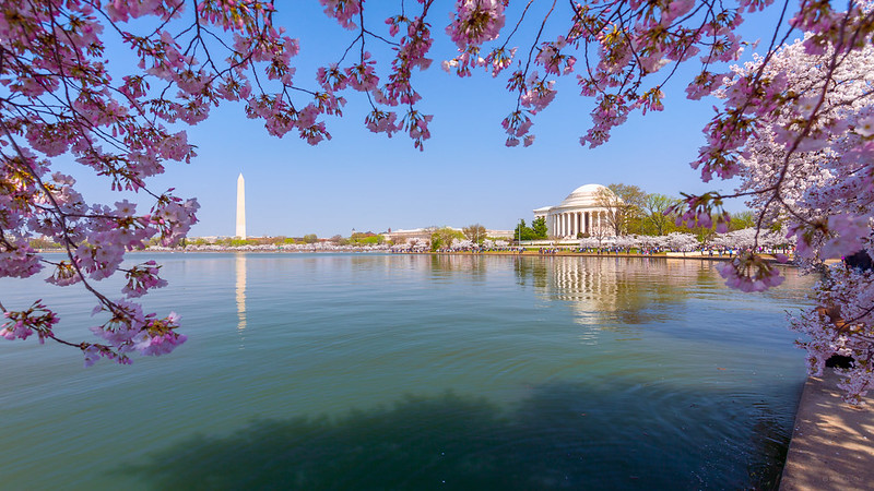 Cherry Blossoms in Spring, Washington DC