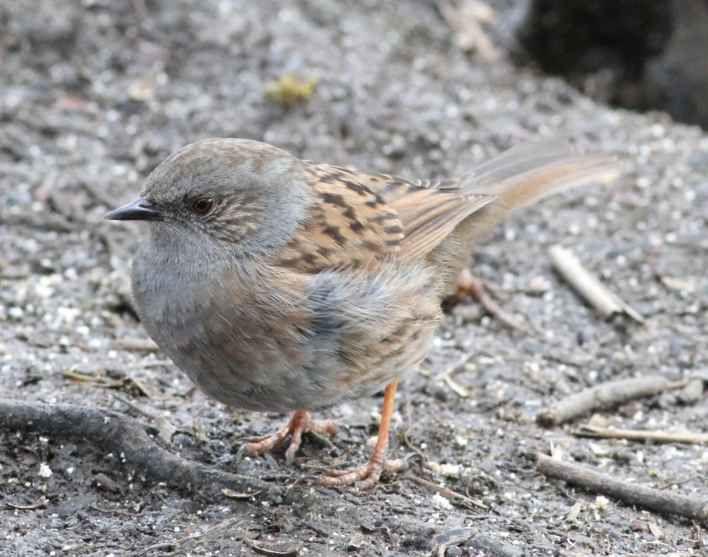 Dunnock Coate Water Wiltshire 21st March 2016 019