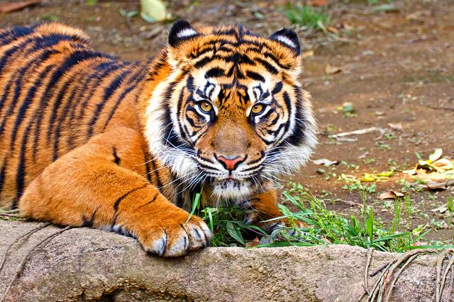 Female Kids Sumatran Tiger, Mimpi of Yokohama Zoological Gardens : ズーラシア、スマトラトラのミンピ