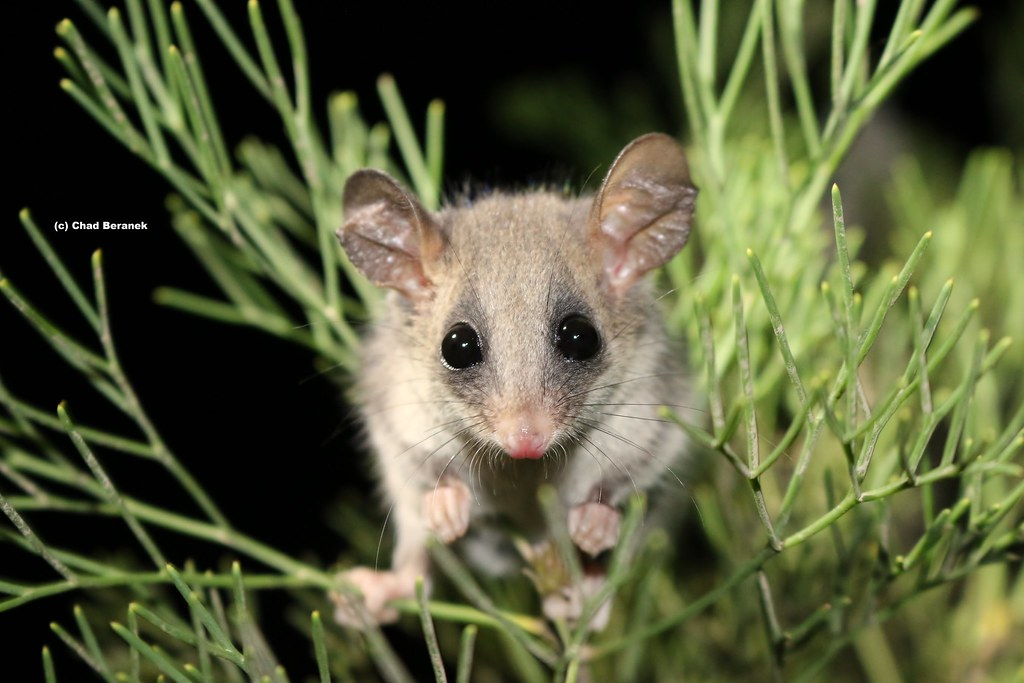 Eastern Pigmy Possum (Cercartetus nanus)
