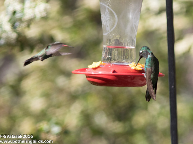 Broad-Billed Hummingbird and Magnificent Hummingbird