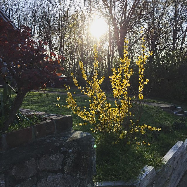 March 21: My forsythia is blooming! It's kinda weak, but it's something. #project365