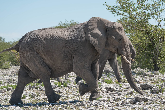 Elefanten auf dem Weg zum Olifantsbad Waterhole