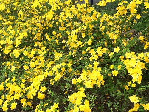 ヤマブキの花の色は山吹色 2016.4.9