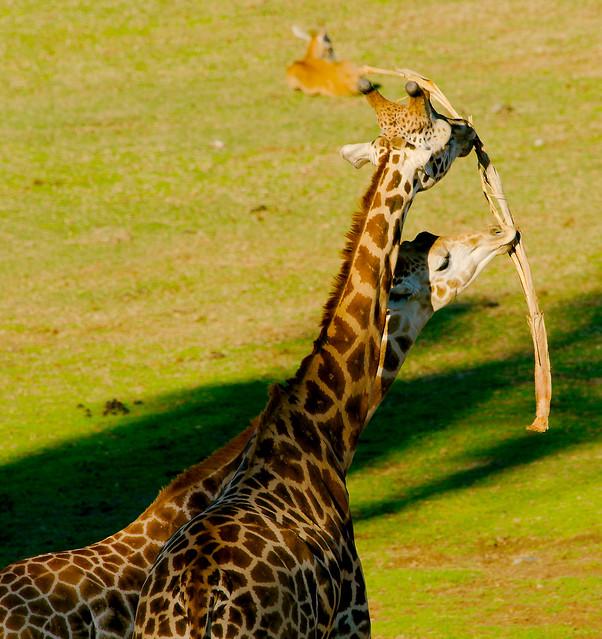Giraffe (Giraffa camelopardalis)_8