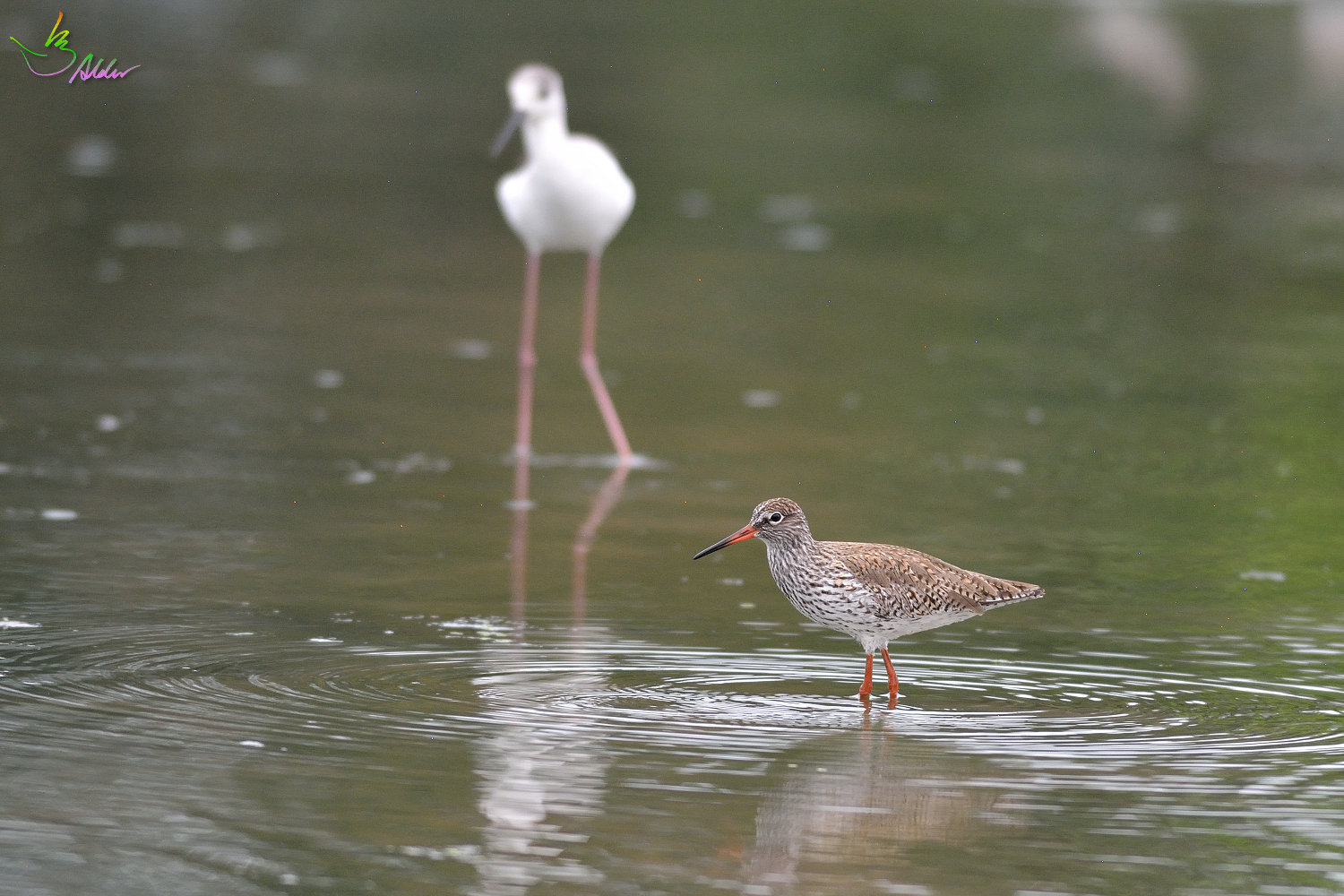 Common_Redshank_3245