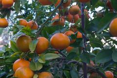 Asahi-Kigaku Takumar 50mmf3.5@f8-K3-Mandarinas