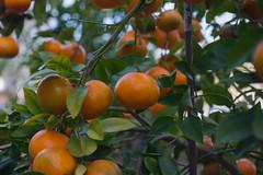 Asahi-Kigaku Takumar 50mmf3.5@f3.5-K3-Mandarinas