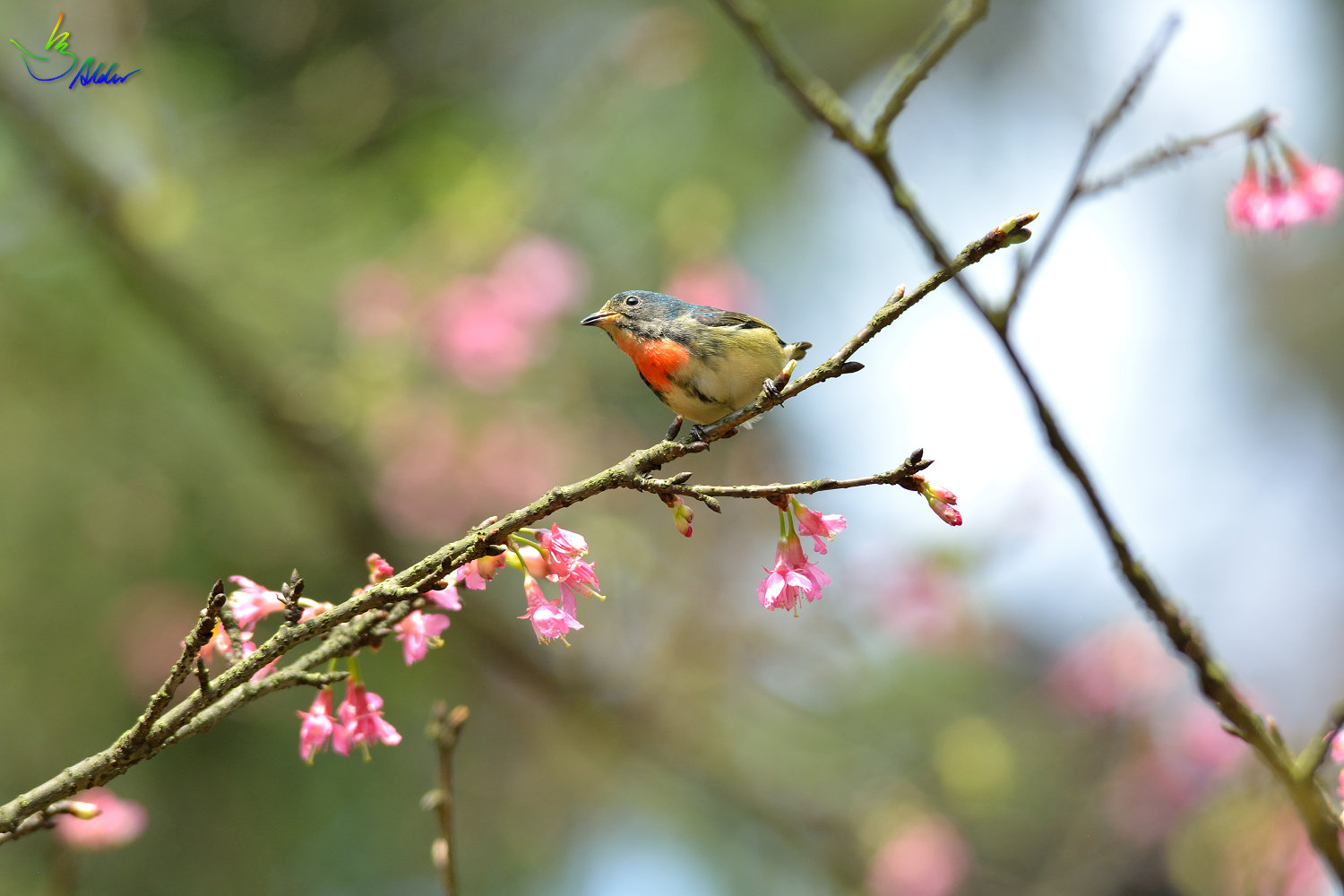 Fire-breasted_Flowerpecker_1807