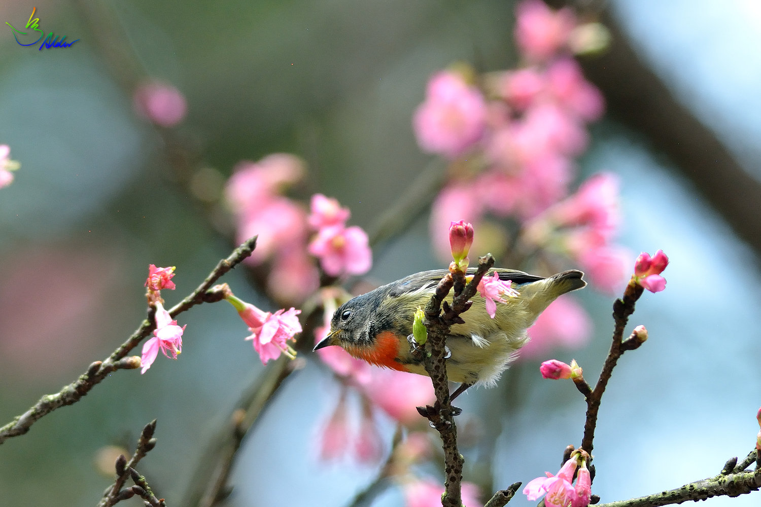 Fire-breasted_Flowerpecker_1726