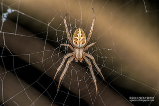Orb weaver spider (Neoscona sp.) - DSC_1661