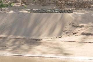 Nilkrokodil auf Sandbank am Kunene River