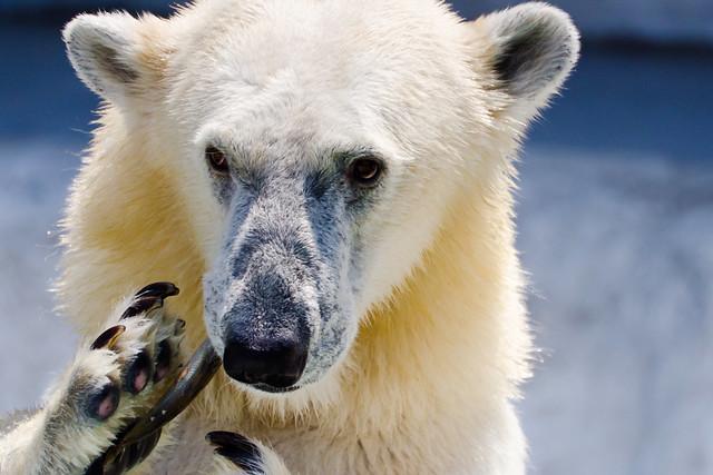 Polar Bear Der of Ueno Zoo, She Is Eating The Fish : 魚を食べる上野動物園のホッキョクグマのデアちゃん