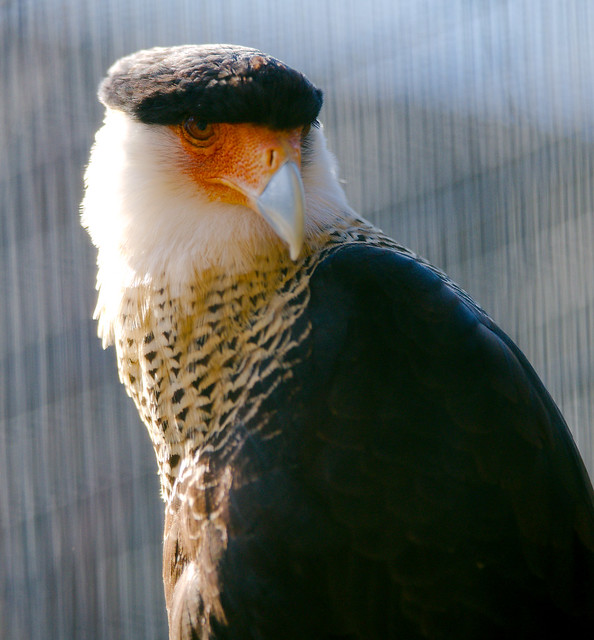 Northern Crested Caracara (Caracara cheriway),