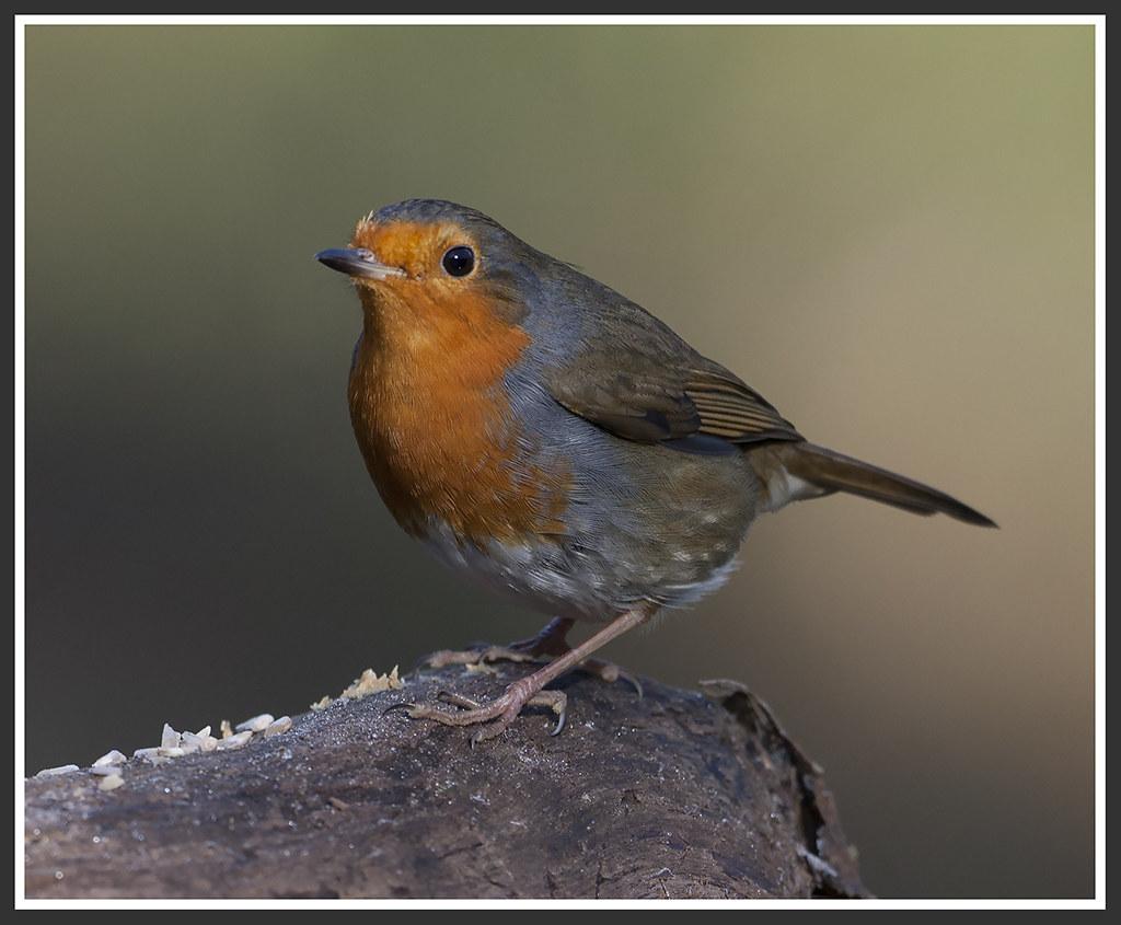 The European Robin 25167464501_d244c441ca_b