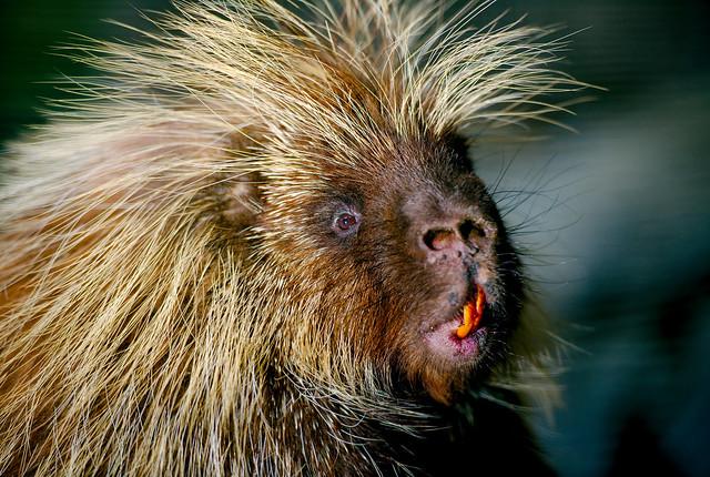 North American Porcupine (Erethizon dorsatum)_4